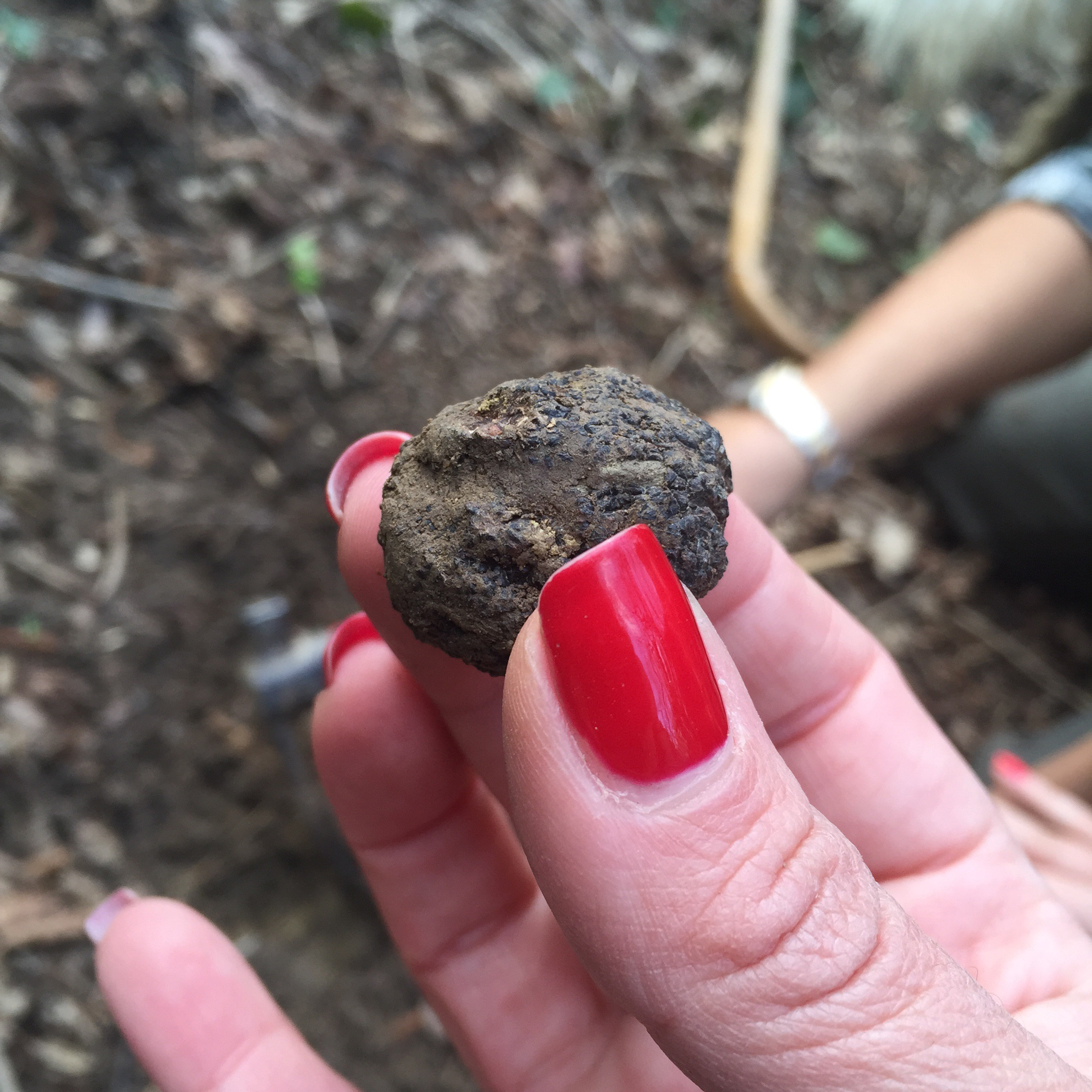 You can go on a truffle hunt with a local hunter to find some black truffle like this